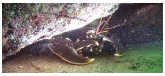 Dykvecka 2012 hummer